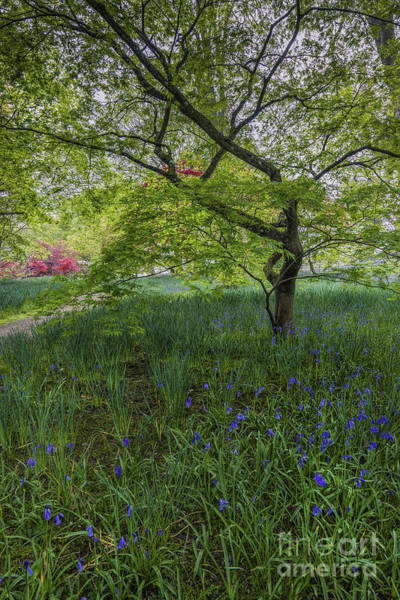 Photograph - Bluebell Meadow by Ian Mitchell