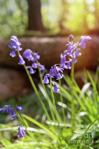 Wall Art - Photograph - Bluebells by Amanda Elwell