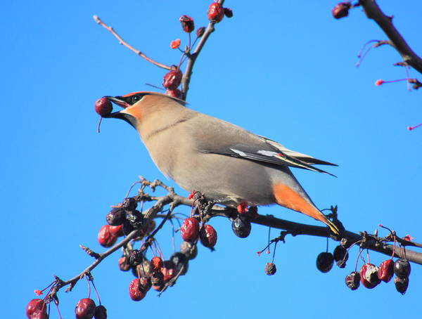 Wall Art - Photograph - Bohemian Waxwing In Fruit Tree by John Burk