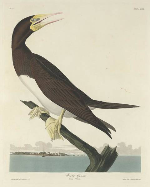 Wall Art - Drawing - Booby Gannet by Dreyer Wildlife Print Collections