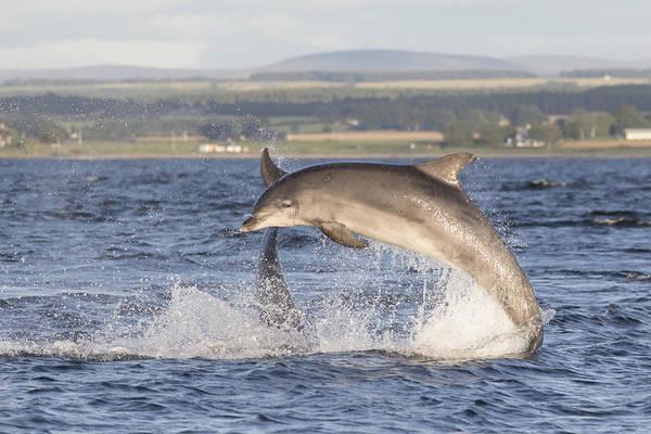 Photograph - Bottlenose Dolphins - Scotland #6 by Karen Van Der Zijden