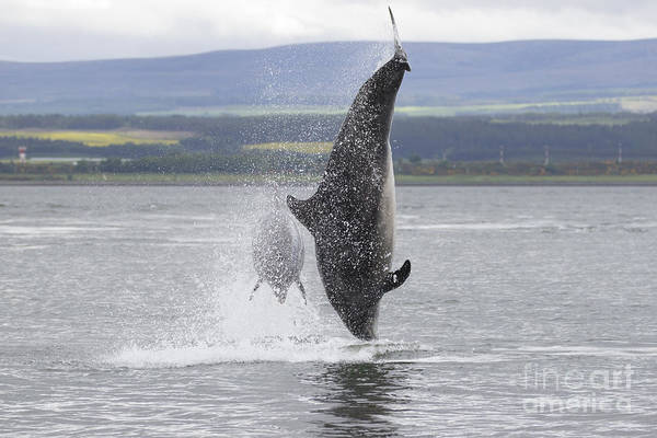 Photograph - Bottlenose Dolphins - Scotland #8 by Karen Van Der Zijden