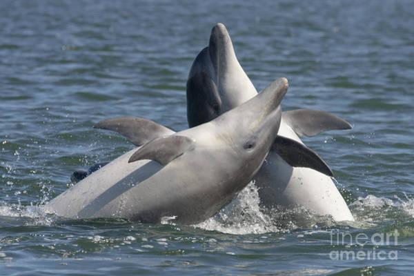 Photograph - Bottlenose Dolphins  - Scotland  #15 by Karen Van Der Zijden