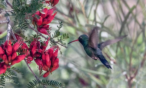 Photograph - Broad-billed Hummingbird by Tam Ryan