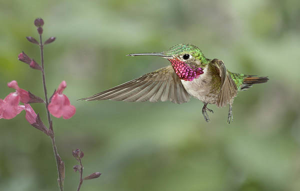 Broad-tailed Hummingbird Photograph - Broadtail Hummingbird And Salvia by Gregory Scott