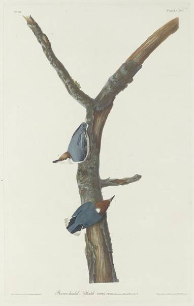 Wall Art - Drawing - Brown-headed Nuthatch by Dreyer Wildlife Print Collections
