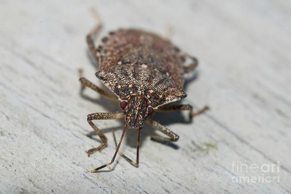 Photograph - Brown Marmorated Stinkbug by John Kaprielian