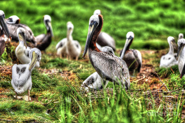 Pelican Island National Wildlife Refuge Wall Art - Photograph - Brown Pelican Colony - Smith Island, Maryland by Greg Hager