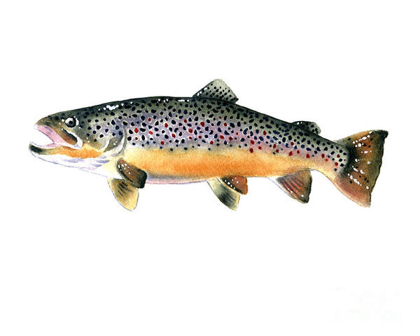 Trout Watercolor Wall Art - Painting - Brown Trout by David Rogers