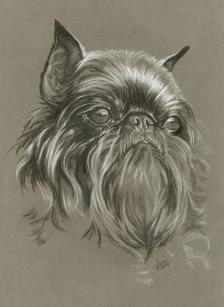 Wall Art - Drawing - Brussels Griffon In Charcoal by Barbara Keith