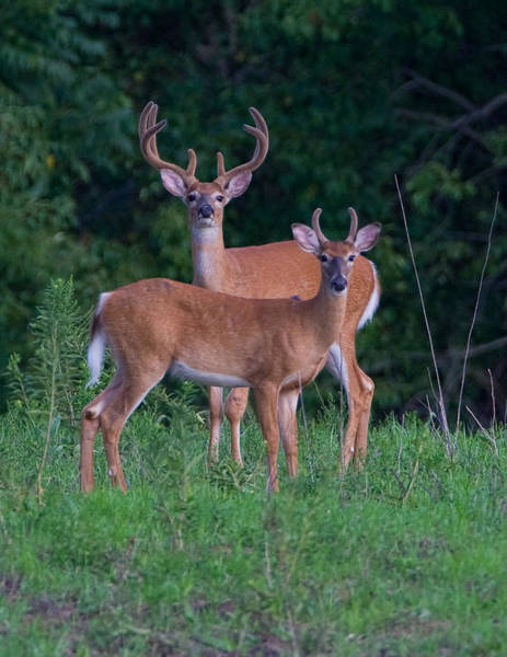 White Tailed Deer Photograph - Buck Father And Son by William Jobes