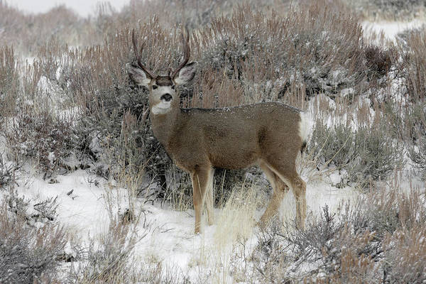 Photograph - Buck by Ronnie and Frances Howard