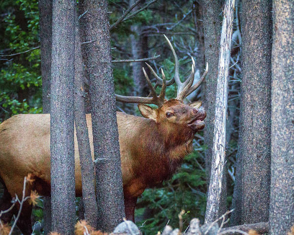 Photograph - Bugling Bull Elk by Ronald Lutz