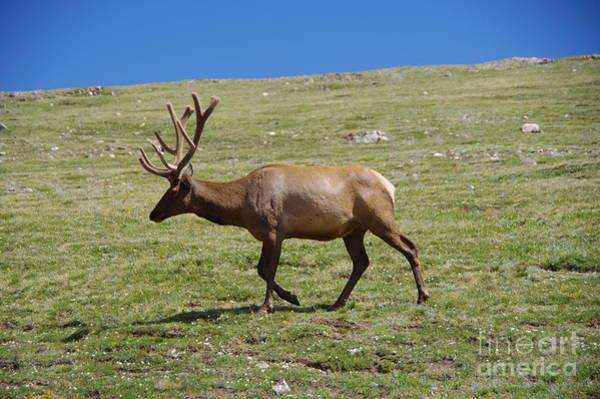 Wall Art - Photograph - Bull Elk On The Move by Jeff Swan