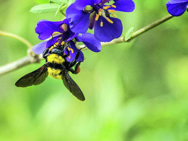 Photograph - Bumble Bee 4140 by Tam Ryan