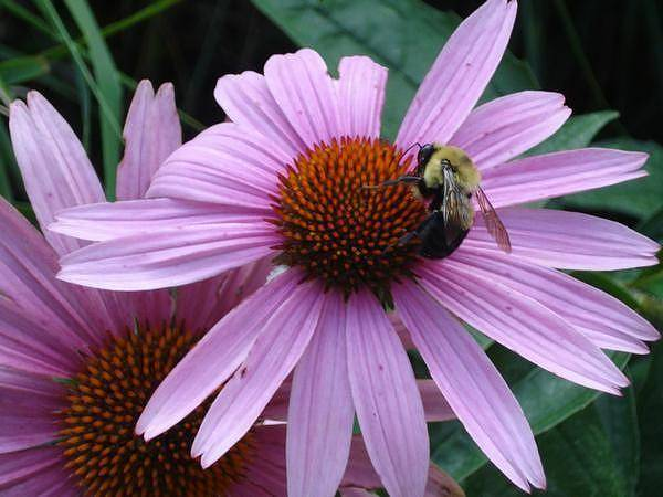 Laura Palmer Wall Art - Photograph - Bumble Bee by Laura Palmer