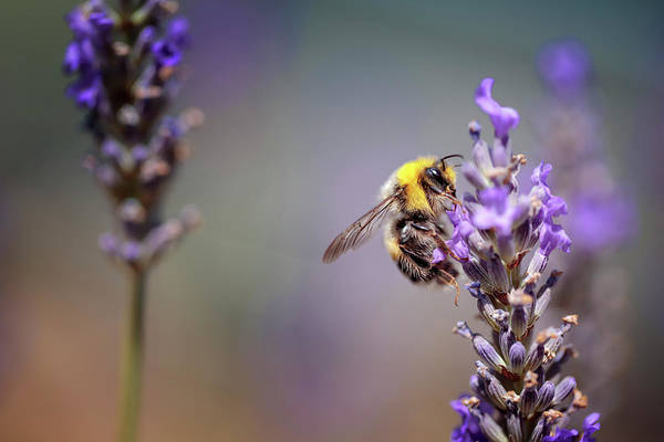 Wall Art - Photograph - Bumblebee And Lavender by Nailia Schwarz