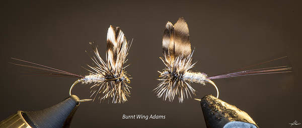 Photograph - Burnt Wing Adams by Philip Rispin