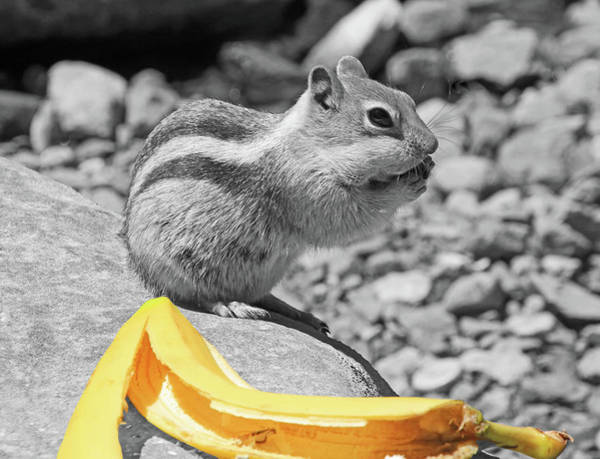 Chipmunk Photograph - Burp... What Banana ?... by Donna Kennedy