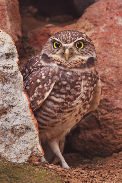 Photograph - Burrowing Owl  by Brian Cross