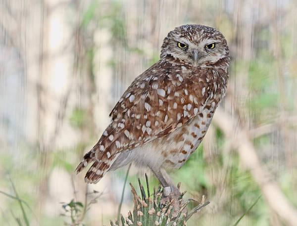 Photograph - Burrowing Owl by Elaine Malott