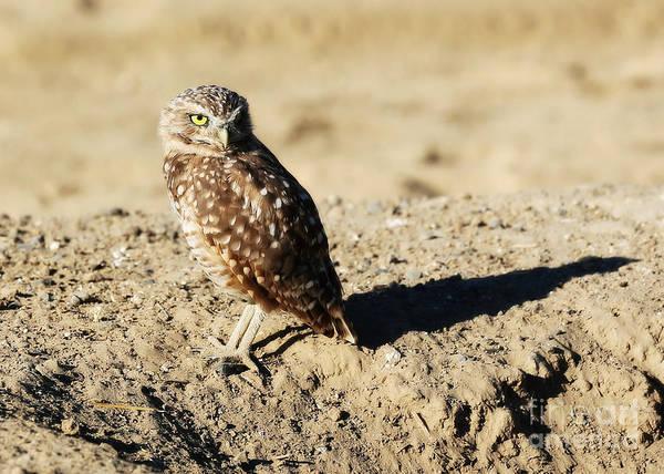 Wall Art - Photograph - Sweetest Burrowing Owl  by Carol Groenen