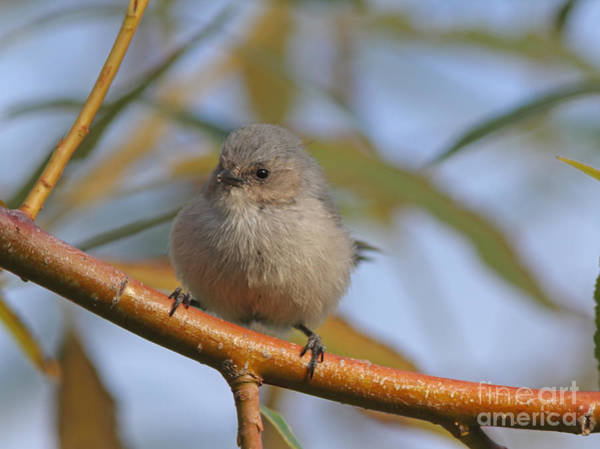 Bushtit Wall Art - Photograph - Bushtit by Gary Wing