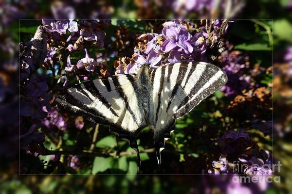 Photograph - Butterfly 9 by Jean Bernard Roussilhe