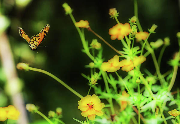 Photograph - Butterfly Flight by Edward Peterson