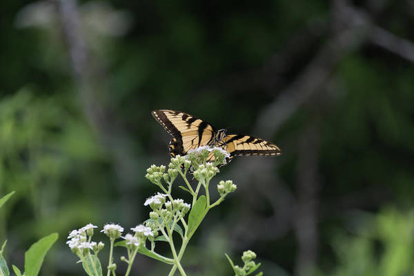 Photograph - Butterfly Landing by John Benedict