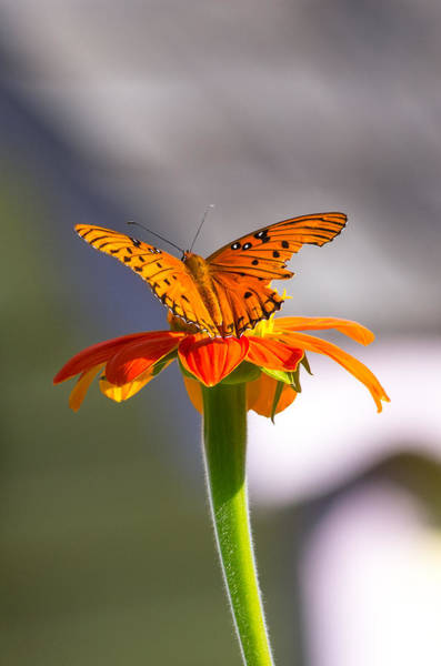 Photograph - Butterfly On Flower by Willard Killough III
