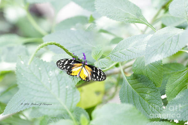 Photograph - Tiger Butterfly by Richard J Thompson