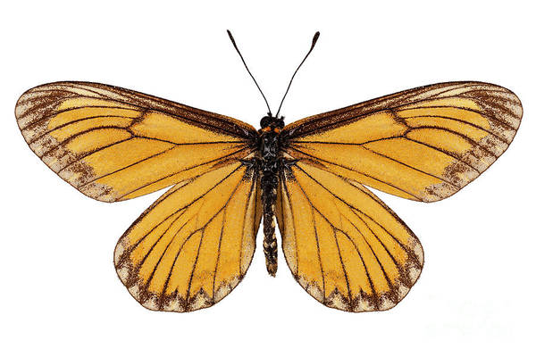 Antenna Painting - Butterfly Species Acraea Issoria  by Pablo Romero