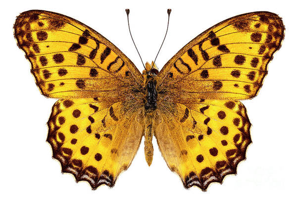 Arthropods Painting - Butterfly Species Argynnis Hyperbius  by Pablo Romero