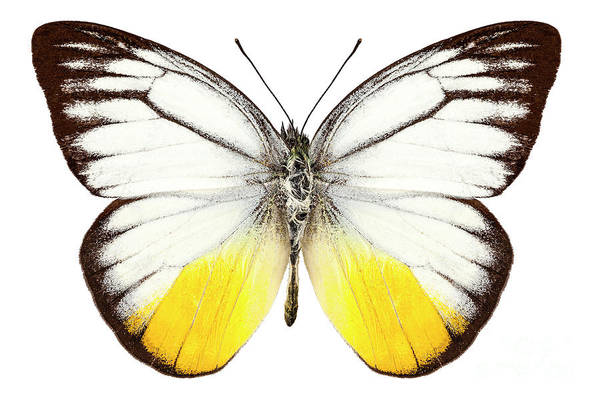 Antenna Painting - Butterfly Species Cepora Judith  by Pablo Romero