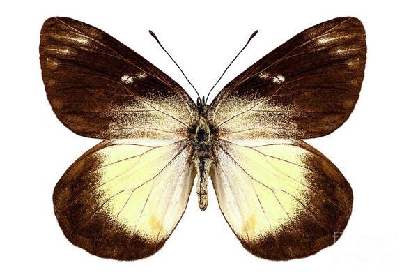 Arthropods Painting - Butterfly Species Delias Fascelis Korupun  by Pablo Romero