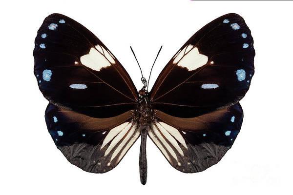 Arthropods Painting - Butterfly Species Euploea Radamanthus Common Name Magpie Crow by Pablo Romero