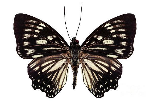 Antenna Painting - Butterfly Species Euripus Nyctelius Euploeoides  by Pablo Romero