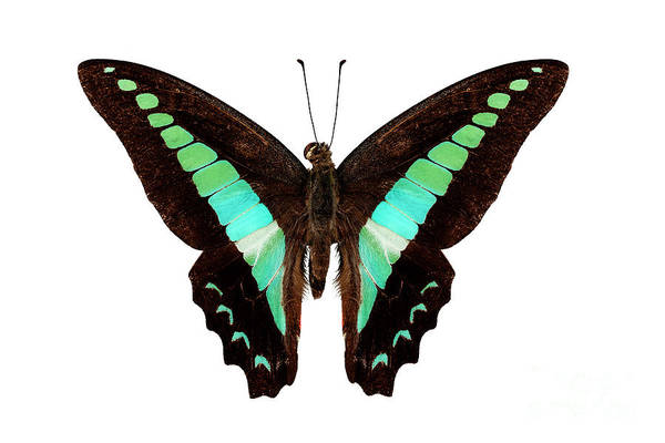Arthropods Painting - Butterfly Species Graphium Sarpedon by Pablo Romero