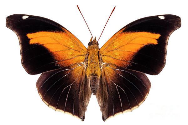 Antenna Painting - Butterfly Species Historis Odius Orion by Pablo Romero