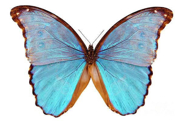 Antenna Painting - Butterfly Species Morpho Godarti Assarpai by Pablo Romero