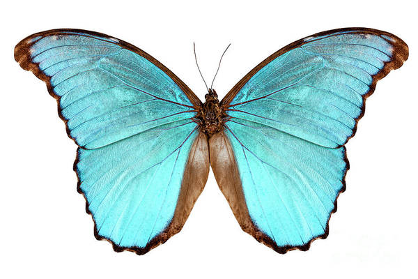 Antenna Painting - Butterfly Species Morpho Menelaus Alexandrovna by Pablo Romero