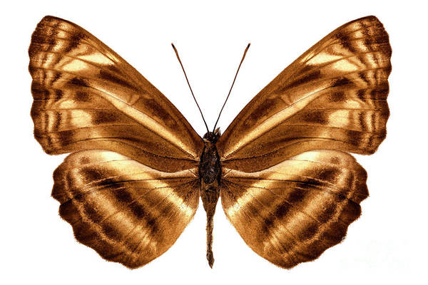 Arthropods Painting - Butterfly Species Neptis Omeroda Omeroda  by Pablo Romero