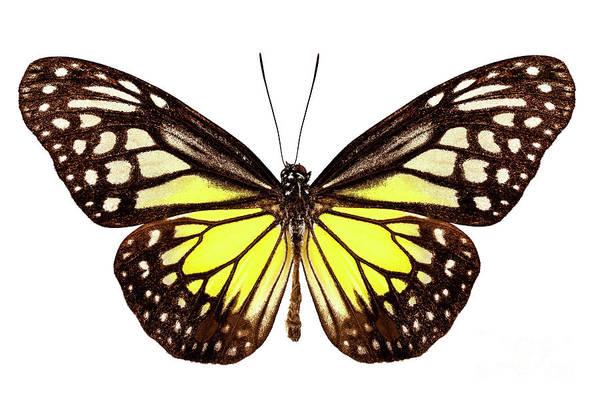 Antenna Painting - Butterfly Species Parantica Aspasia Common Name Yellow Glassy Ti by Pablo Romero