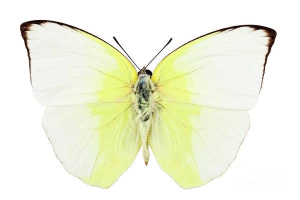 Antenna Painting - Butterfly Species Phoebis Statira  by Pablo Romero
