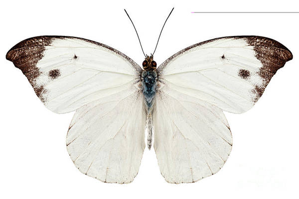 Cabbage White Painting - Butterfly Species Pieris Rapae by Pablo Romero