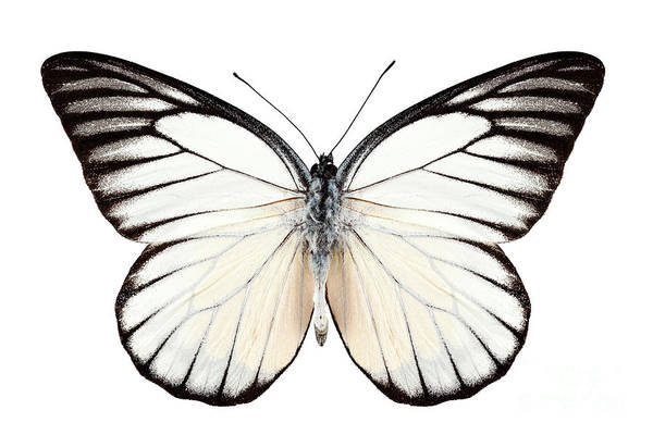 Arthropods Painting - Butterfly Species Prioneris Philonome by Pablo Romero