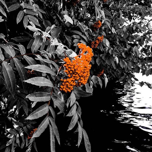 Photograph - Mountain Ash Tree - Sorb by Cristina Stefan