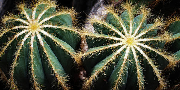 Wall Art - Photograph - Cactus  by Catherine Lau
