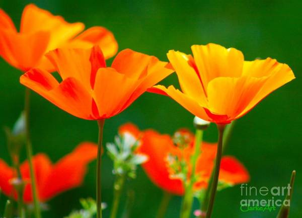Photograph - California Poppies by Jean Clarke